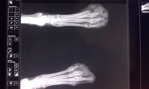 Radiographs of her back paws, with distal bones missing.