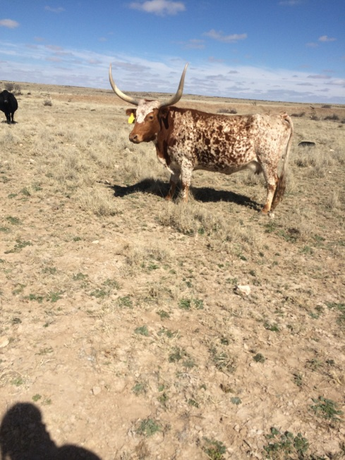 Marilyn! Their only longhorn cattle.