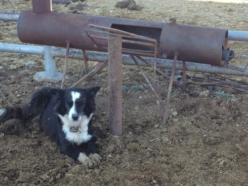 Lucy, the one-eyed border collie, resting by the branding fire.