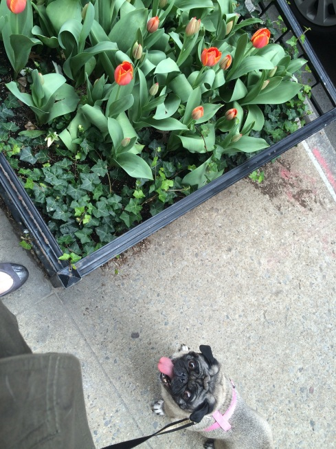 Tulip with Upper East Side tulips.